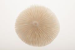 Mushroom top. White mushroom top showing gills Royalty Free Stock Photography