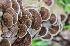 Mushroom (Trametes versicolor) Royalty Free Stock Photography