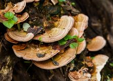 Mushroom (Trametes versicolor) on a rotting fallen tree for Cure Royalty Free Stock Images