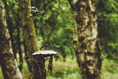 Mushroom on tree royalty free stock images