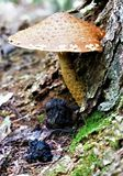 Mushroom at tree base. A red topped scaled mushroom cap shades the base of a tree and moss Stock Images