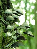 Mushroom tree. Found these growing on a snapped tree Royalty Free Stock Images