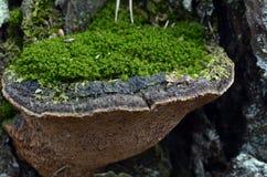 Mushroom on a tree royalty free stock photo