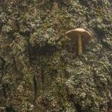 Mushroom on tree. Mushroom growing on the side of old tree Stock Photos