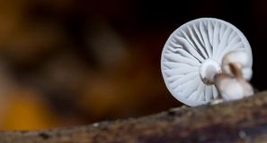 Mushroom on tree trunk Royalty Free Stock Photo
