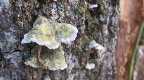 Mushroom on Tree  1. Wild fungus growing on tree trunk Stock Images