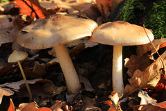 Mushroom (Tricholoma albobrunneum) Royalty Free Stock Image