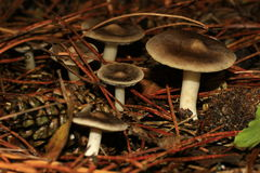 Mushroom (Tricholoma terreum). Mushroom in the coniferous wood in the autumn Stock Photography