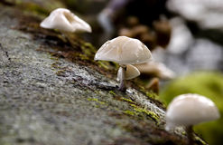 Mushroom trio. Three mushrooms growing on a dead tree branch in a wood Royalty Free Stock Photo