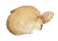 Mushroom truffle Stock Photo