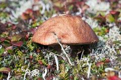 Mushroom in the tundra Stock Photos