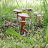 Mushroom under a leaf and acorn Royalty Free Stock Photo