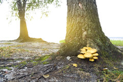 Mushroom under a tree. Royalty Free Stock Photos