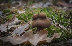Mushroom is very similar to the frog grows in forest green moss near oak leaf stock photo