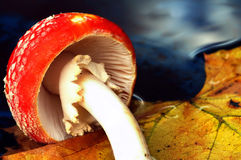 Mushroom water. Toad stool in the afternoon in november Stock Photo