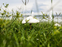 Mushroom. White capped mushroom in amounts wild yellow flowers and grass with depth of shallow field Stock Images