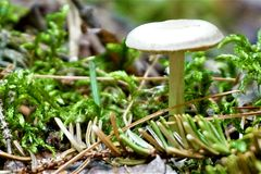 Mushroom. A white topped mushroom cap shades the moss and pine needles on the forest floor Stock Photography