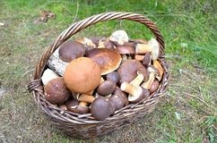 mushroom in wicker basket in autumn Royalty Free Stock Photography
