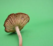 Mushroom Royalty Free Stock Photos