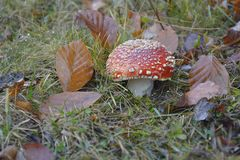 The Mushroom in the wood. A Mushroom in the wood Royalty Free Stock Images