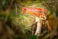 Mushroom, wood, meal, diet, brown,. The Fly Agaric or Fly Amanita Amanita muscaria is now primarily famed for its hallucinogenic properties royalty free stock photo