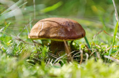 Mushroom Xerocomus badius. Mushrooms in the forest close to the blurred background Royalty Free Stock Image
