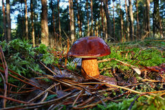 Mushroom xerocomus badius. Xerocomus badius mushroom grow in the forest Royalty Free Stock Photography