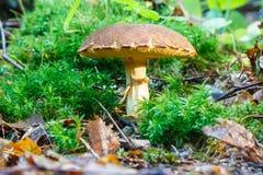 Mushroom Xerocomus Stock Photo