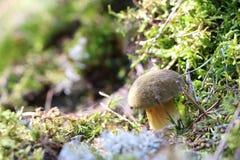 Mushroom Xerocomus fungus moss Stock Photo