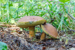 Mushroom Xerocomus subtomentosus. Commonly known as suede bolete, brown and yellow bolet, boring brown bolete or yellow-cracked bolete  in forest in the ground Royalty Free Stock Image