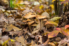 Mushroom in yellow leaves. Mushroom in yellow autumn leaves Stock Photography