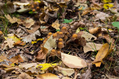 Mushroom in yellow leaves. Mushroom in yellow autumn leaves stock image