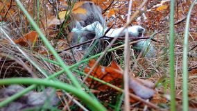 "Mushroom in yellow leaves and green grass â""– 2. Mushroom in yellow leaves and green grass. Mushroom cut off. White mushroom. Mushroom autumn. Second photo stock image"
