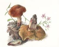 MushroomBoletusQueletii.jpg 免版税库存照片