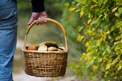 Mushroomer carries in his hand a basket full of mushrooms, back view Royalty Free Stock Photography