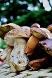mushrooming Stock Afbeelding
