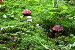 Mushrooming in the forest Royalty Free Stock Image