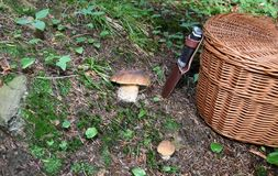 Mushrooming in the forest Stock Photography