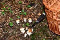 Mushrooming in the forest Royalty Free Stock Images