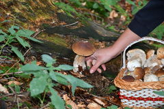 Mushrooming in the forest Stock Photos