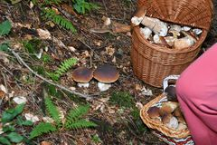 Mushrooming in the forest Stock Images