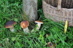 Mushrooming in the forest Royalty Free Stock Photo