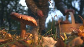 Mushrooming in the forest. Slow motion. Woman finds brown cap boletus and cuts him. Vertical ( from bottom to top ) panorama stock video