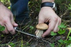 Mushrooming - hand with a knife cut the cap boletus. Big mushroo Stock Image