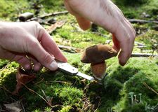 Mushrooming. Picking mushrooms in the forest royalty free stock photo