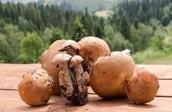Mushrooming in Polish mountains. Orange bolete collection Royalty Free Stock Photos