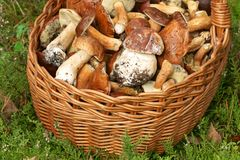 Mushrooming, wicker basket full of mushrooms Royalty Free Stock Photography