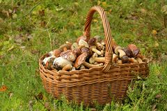 Mushrooming, wicker basket full of mushrooms Royalty Free Stock Image