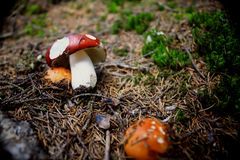 Mushrooms. Wild mushrooms in the forest Royalty Free Stock Image