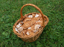 Mushrooms. Basket full mushrooms  on a green background Royalty Free Stock Photography